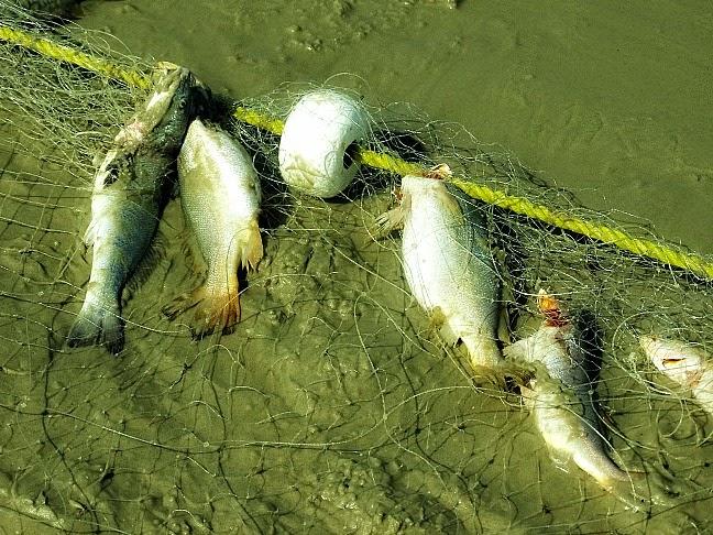 Peixes presos na rede de pesca, em Tavares