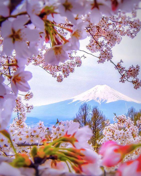 Cherry Blossom - Arakurayama Sengen Park, Yamanashi, Japan.