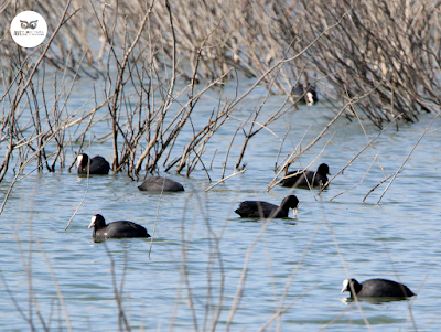 Fochas comunes buscando alimento en la laguna