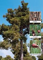 Bir kızılçam ağacı ve yakından gövdesi ve kozalakları