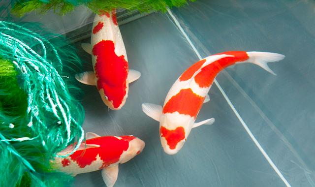 Dunia Ikan Hias - Tips Budidaya Ikan Koi