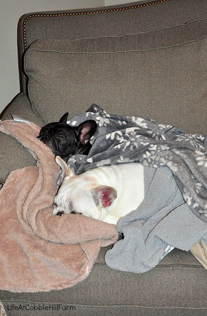 sleeping french bulldogs