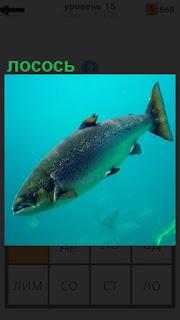 Под водой плывет рыба, которая называется лосось