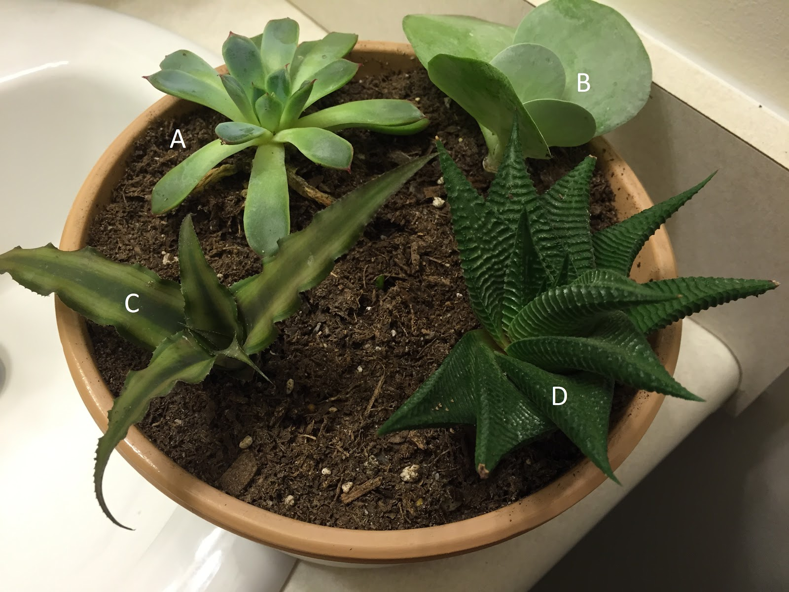 Four Various Succulent Plants Sold In A Pot With No Plant Tags