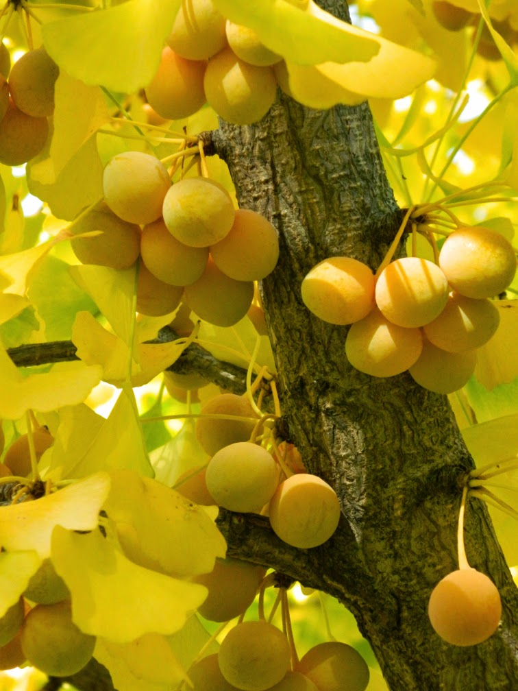 Ginkgo biloba Maidenhair tree fruit Toronto Botanical Garden by garden muses-not another Toronto gardening blog