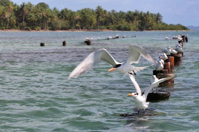 Gaviotas en Bocas del Toro
