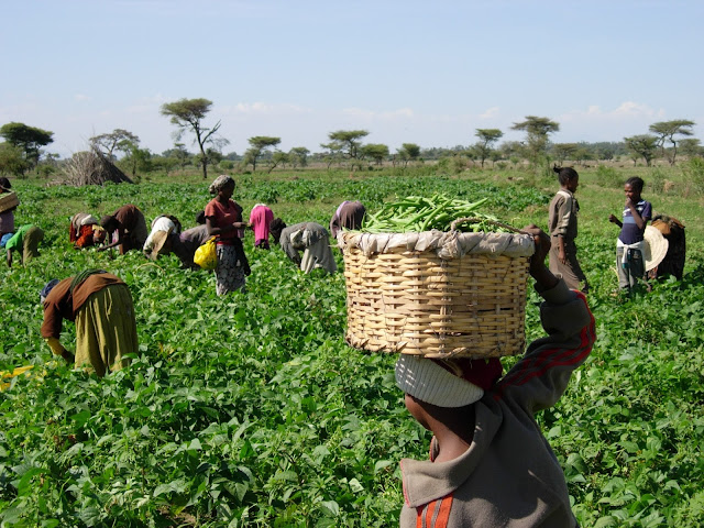 Clean Eating and picking beans in Ethiopia, green beans are very easy to grow.