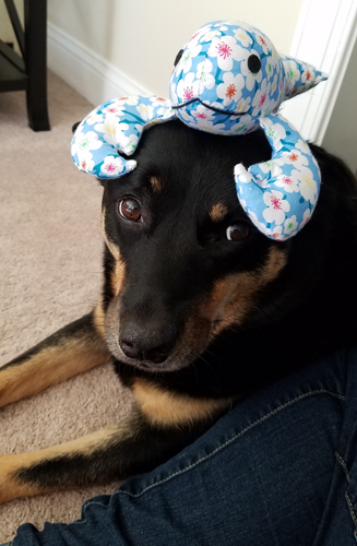 image of Zelda the Black and Tan Mutt sitting on the floor next to me with a plushy toy on her head, giving me A Look
