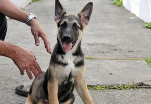 Nomes dos novos cães da GCM da Praia Grande serão escolhidos por enquete
