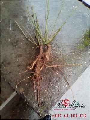 Zdrav korijen - zdrava biljka.