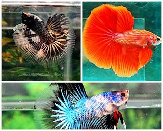 Perawatan Ikan Cupang Hias