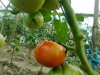 tomate ghittia la solar