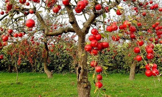 manfaat dan fakta buah khuldi