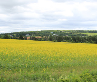 Yellow Canola fields on Prince Edward Island