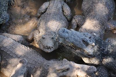 alligators guama cuba
