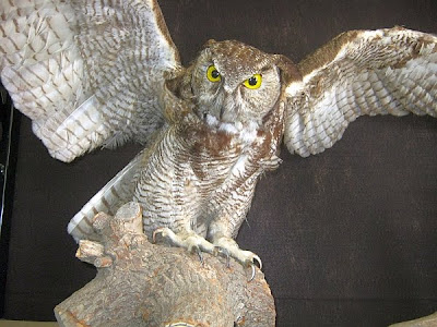 Great Horned Owl display at Visitor Center, Cache Creek Nature Preserve
