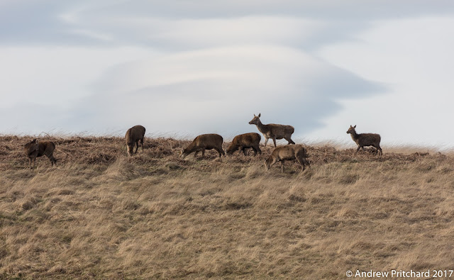 A small group of deer grazing on yellow moorland grass in front of lenticular clouds.