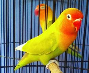 700 Gambar Burung Lovebird Pasjo Gratis Gambar Id