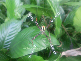 SPIDER IN SIKKIM
