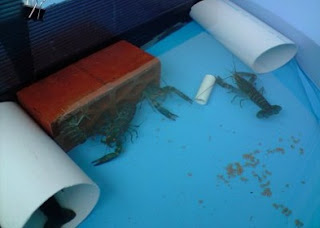 cara budidaya udang galah dalam kolam terpal,cara budidaya udang galah air tawar,budidaya udang galah di kolam terpal,budidaya udang galah di rumah,cara budidaya udang air tawar di aquarium,