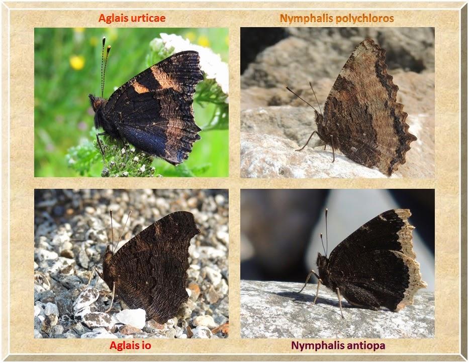 Reverso de Aglais urticae, Aglais io, Nymphalis polycloros y Nymphalis antiopa