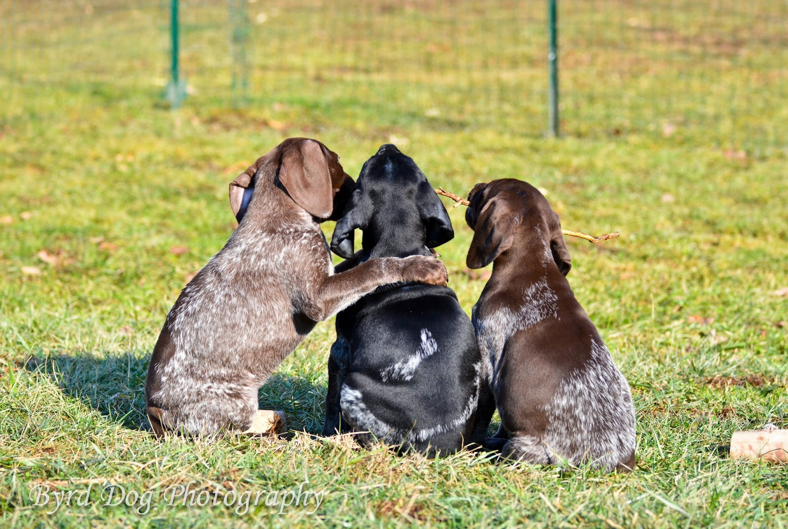 Adventures of a GSP Hunting Dog: Pupdate: And Then There ... - photo#19