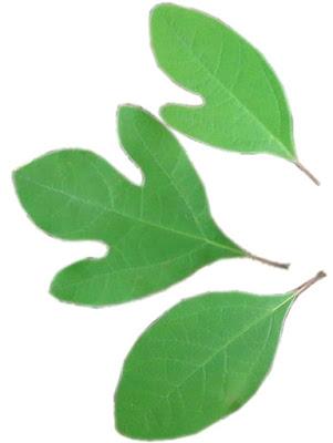 Shape of Sassafras Leaves