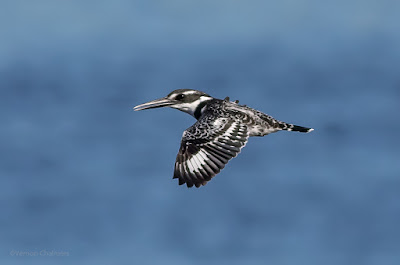 Pied Kingfisher in Flight - Woodbridge Island / Cape Town