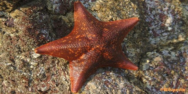 Gambar Bintang laut ordo Valvatida