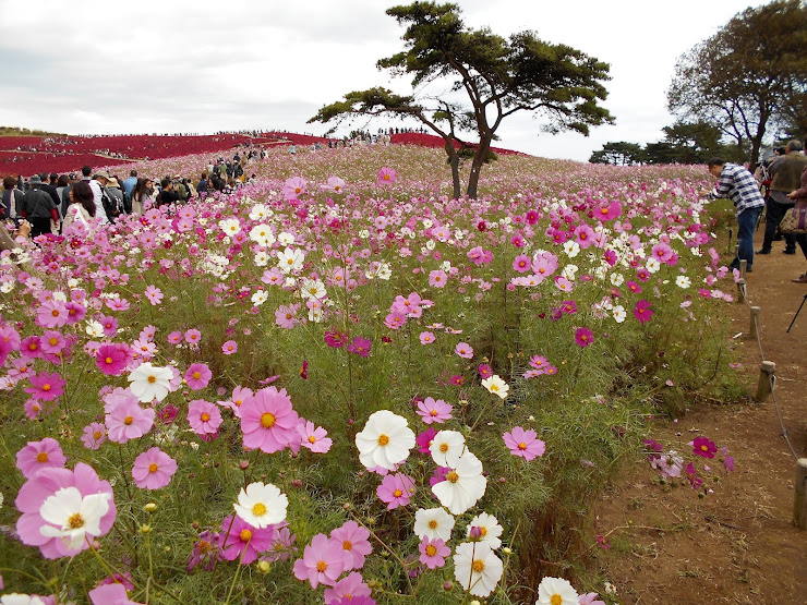 広い範囲に咲いたコスモス