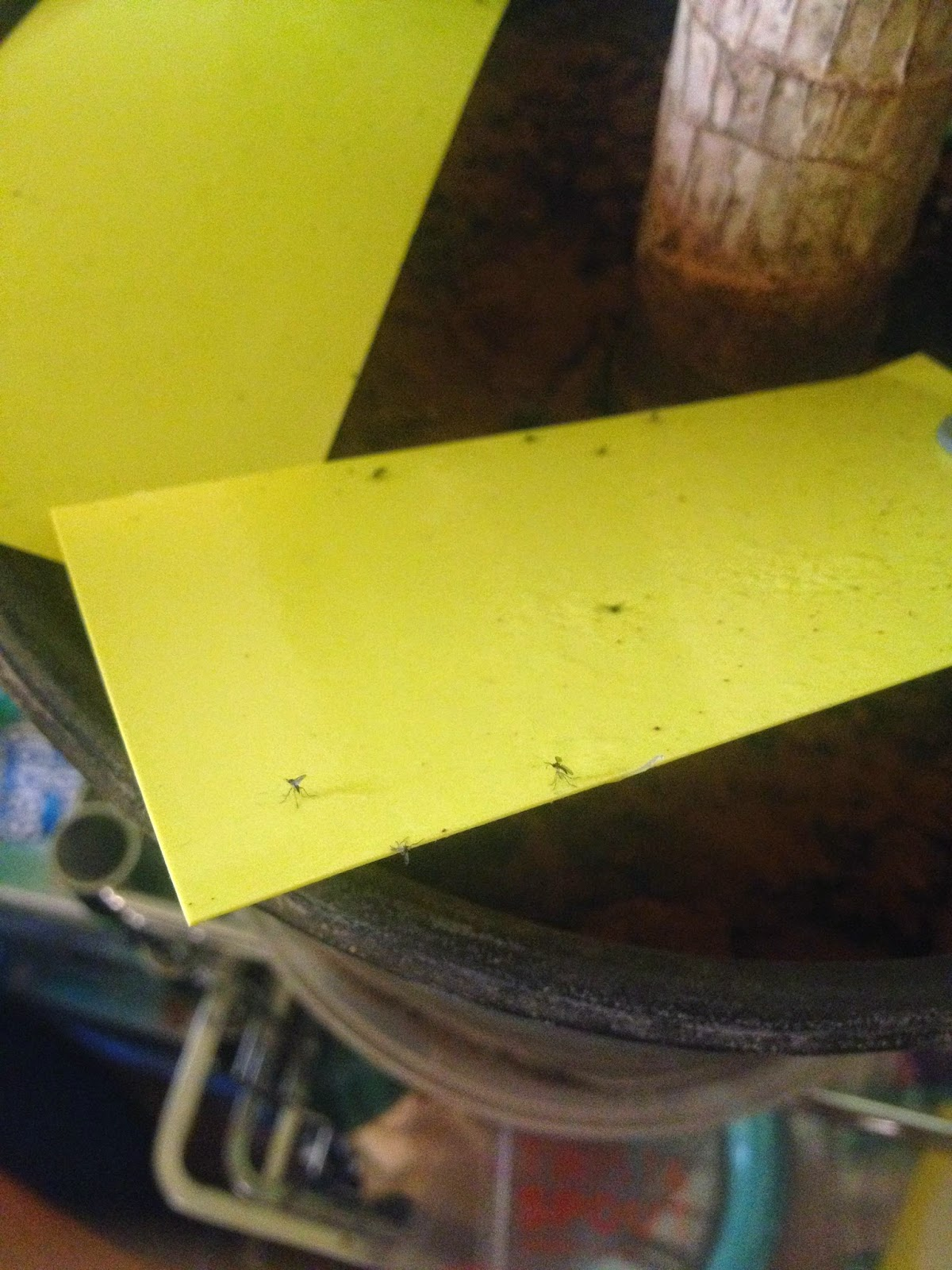 Getting rid of Fungus Gnats with Drying Out Soil, Cinnamon