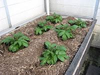 土寄せ前のジャガイモ