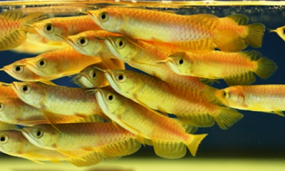 Harga Ikan Arwana Super Red Anakan