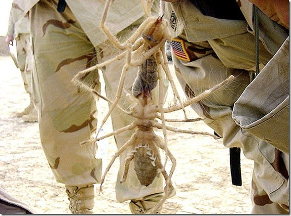 Biggest Camel Spider in the World