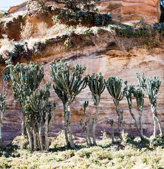 euphorbiaceae of africa