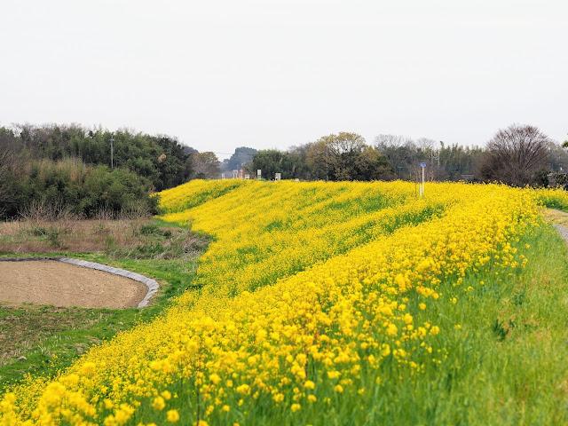 荒川自転車道 さくら堤公園 菜の花