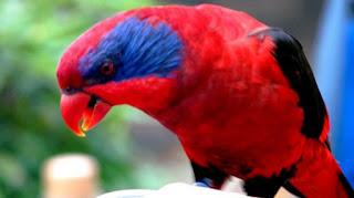 Burung Nuri Merah