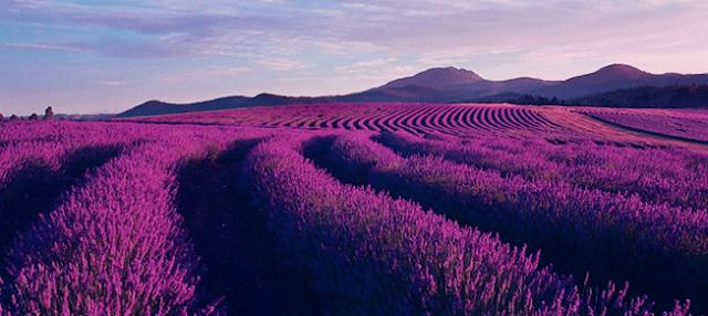 Ý Nghĩa Của Hoa Oải Hương (Lavender) Là Gì? - Ảnh 2