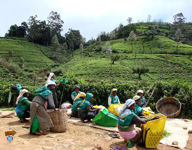 Tea Plukers - Sri Lanka