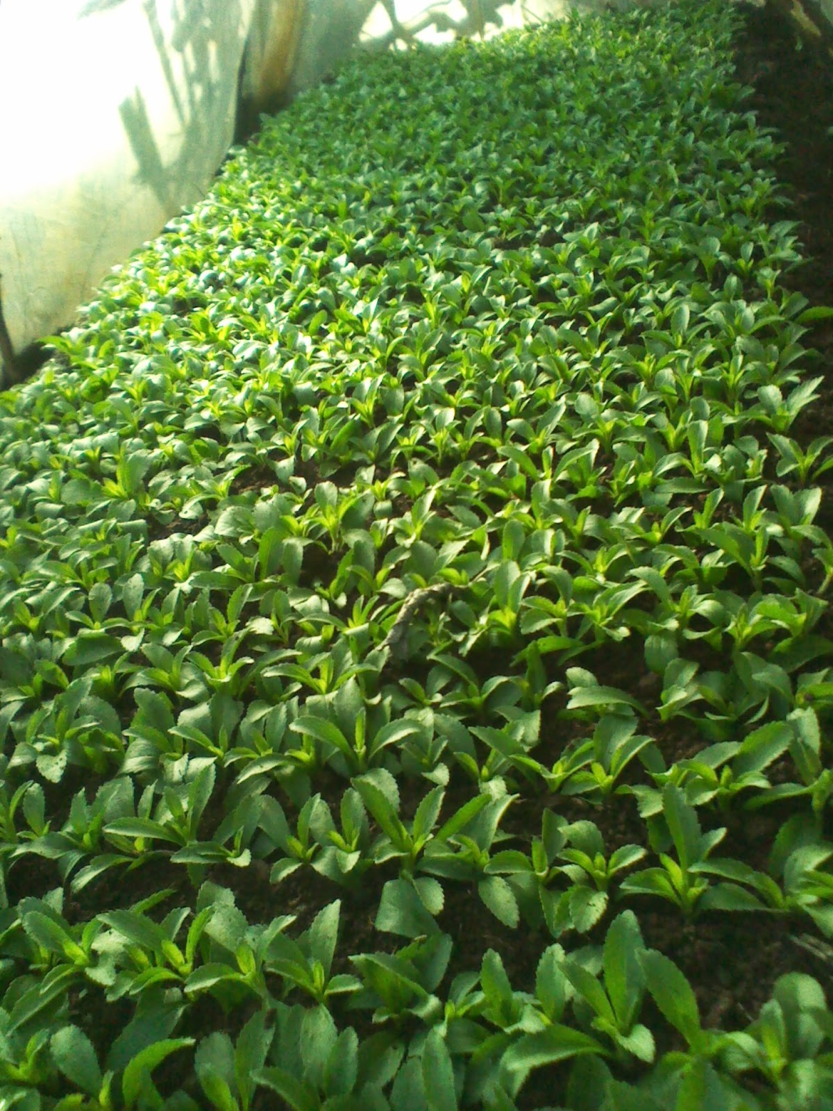 Growing Stevia How To Plant Grow And Harvest Stevia: KILIMO SASA: STEVIA GROWING IN KENYA