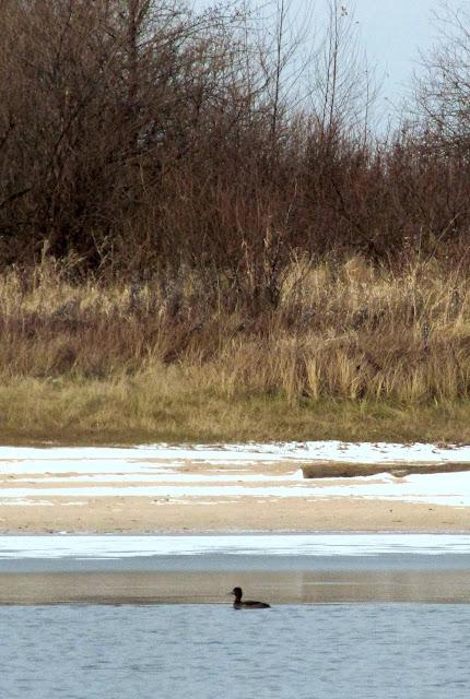 утка на реке со льдом