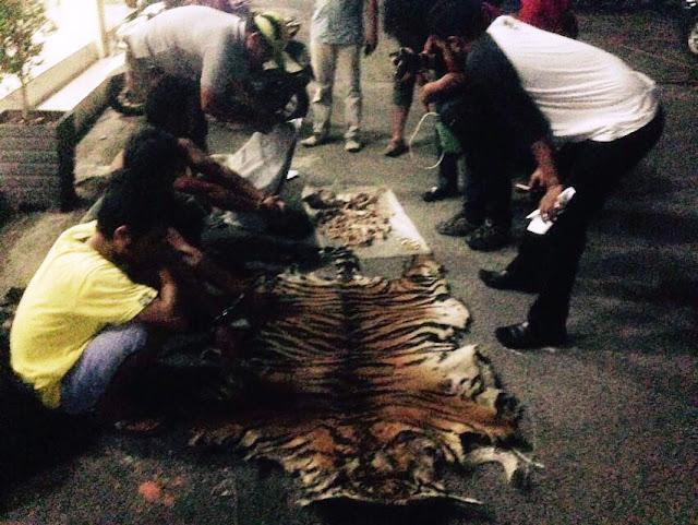 Tim Gabungan tangkap pelaku perdagangan Harimau Sumatera