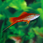 Jenis Ikan Hias Air Tawar Swortail