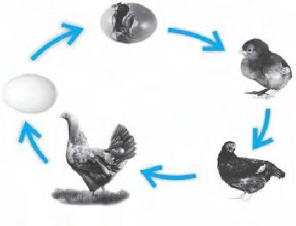 8700 Koleksi Gambar Proses Pertumbuhan Hewan Ayam HD