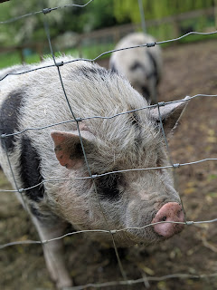 Eric a Juliana Pig at Curly Tails Pig Sanctuary