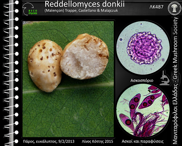Reddellomyces donkii (Malençon) Trappe, Castellano & Malajczuk