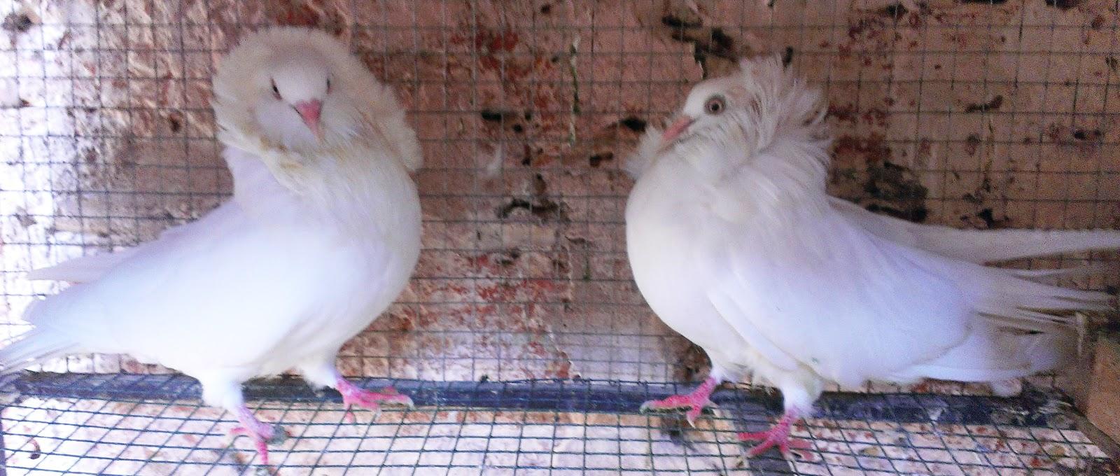 jacobin pigeon - photo #27