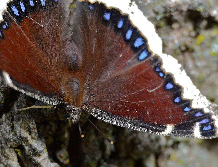 Mourning Cloak (Nymphalis antiopa) butterfly sips from a sap flow on our ash tree.
