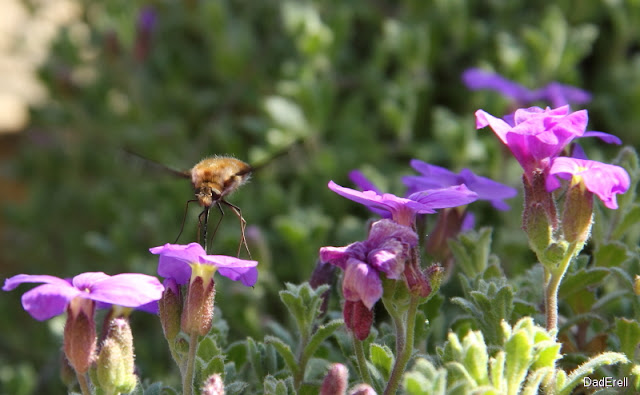 Bombyle butinant une fleur d'aubriète
