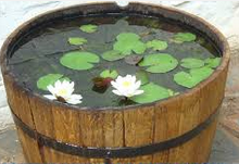 Hebatnya Cupang, Molly Dan Juga Ikan Pedang air lotus